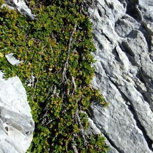 Photographie n°711626 du taxon Salix retusa L.