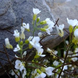 Photographie n°711648 du taxon Arabis alpina L.