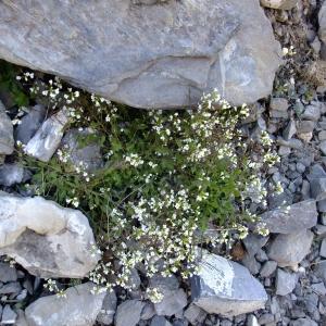 Photographie n°711650 du taxon Arabis alpina L.