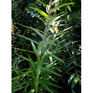 Lilium lancifolium Thunb. (Lis tigré)