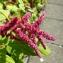 Yoan Martin - Amaranthus caudatus L.