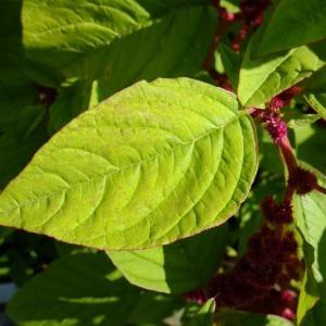- Amaranthus caudatus L.