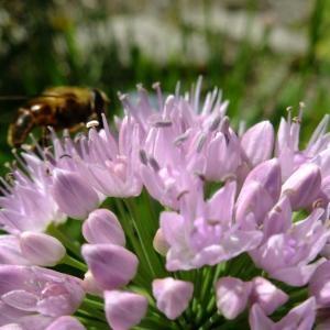 Photographie n°712195 du taxon Allium angulosum L.
