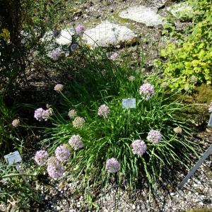 - Allium angulosum L.