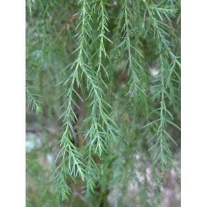 Juniperus virginiana L. (Genévrier de Virginie)