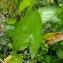 Yoan Martin - Alisma plantago-aquatica L.