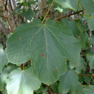 Photographie n°713036 du taxon Acer opalus Mill.