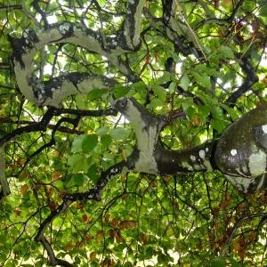 Photographie n°713107 du taxon Fagus sylvatica L.