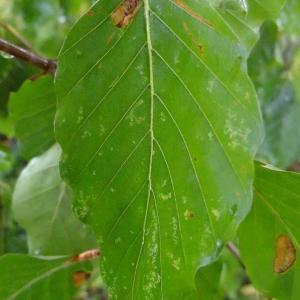 Photographie n°713141 du taxon Fagus sylvatica L.
