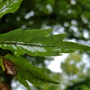 Photographie n°713175 du taxon Fagus sylvatica L.