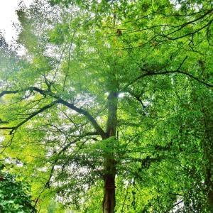 Photographie n°713177 du taxon Fagus sylvatica L.