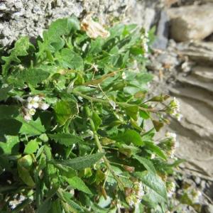 Photographie n°713313 du taxon Capsella bursa-pastoris (L.) Medik.
