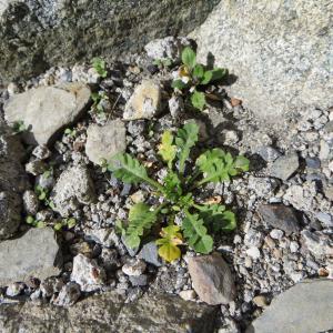 Photographie n°713316 du taxon Capsella bursa-pastoris (L.) Medik.