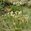 Paul Fabre - Laserpitium gallicum L.