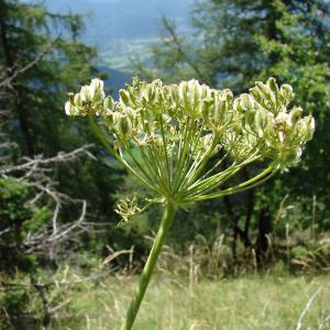 - Laserpitium gallicum L.