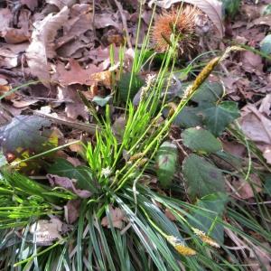 Photographie n°713726 du taxon Carex flacca Schreb. [1771]