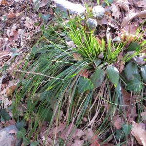 Photographie n°713727 du taxon Carex flacca Schreb. [1771]