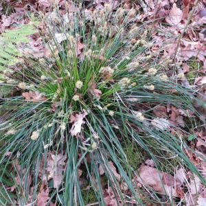 Photographie n°713728 du taxon Carex flacca Schreb. [1771]