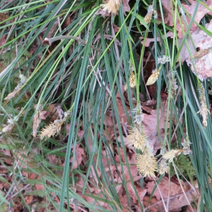 Photographie n°713729 du taxon Carex flacca Schreb. [1771]