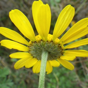 Cota tinctoria (L.) J.Gay ex Guss. subsp. tinctoria (Anthémis des teinturiers)