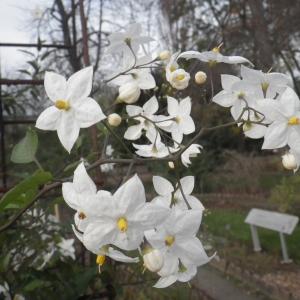 Photographie n°714352 du taxon Solanum jasminoides Paxton