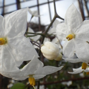 Photographie n°714353 du taxon Solanum jasminoides Paxton