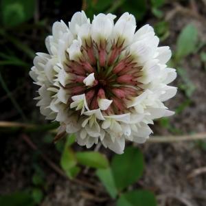 - Trifolium hybridum L. [1753]