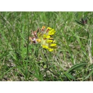 Anthyllis vulneraria subsp. pseudovulneraria (Sagorski) P.Fourn. (Anthyllide)
