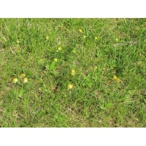 Anthyllis vulneraria subsp. pseudovulneraria (Sagorski) J.Duvign. (Anthyllide)