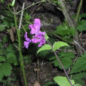 Photographie n°716155 du taxon Lunaria annua L.