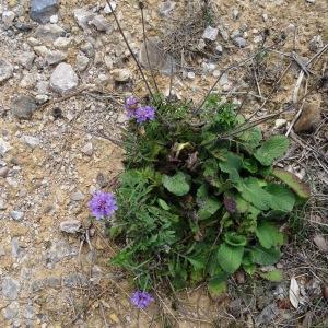 Photographie n°716216 du taxon Scabiosa cinerea Lapeyr. ex Lam. [1792]