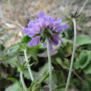 Photographie n°716218 du taxon Scabiosa cinerea Lapeyr. ex Lam. [1792]