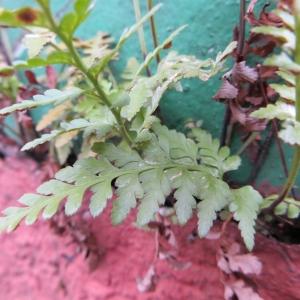 Photographie n°716421 du taxon Asplenium adiantum-nigrum L.