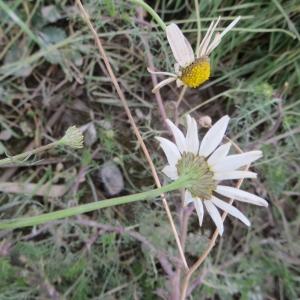Photographie n°716432 du taxon Tripleurospermum inodorum (L.) Sch.Bip. [1844]