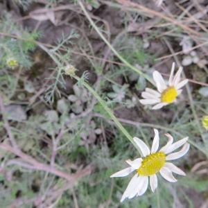 Photographie n°716433 du taxon Tripleurospermum inodorum (L.) Sch.Bip. [1844]