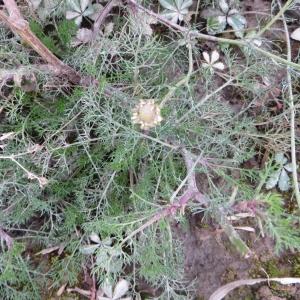 Photographie n°716434 du taxon Tripleurospermum inodorum (L.) Sch.Bip. [1844]
