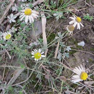 Photographie n°716435 du taxon Tripleurospermum inodorum (L.) Sch.Bip. [1844]
