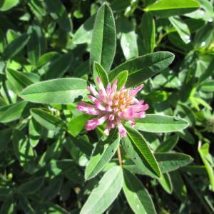 Photographie n°716441 du taxon Trifolium alpestre L. [1763]
