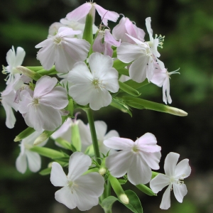 - Saponaria officinalis L.