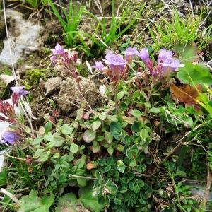 Photographie n°716829 du taxon Chaenorhinum origanifolium (L.) Kostel. [1844]