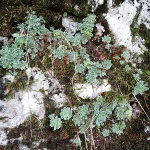 Photographie n°717043 du taxon Saxifraga paniculata Mill.