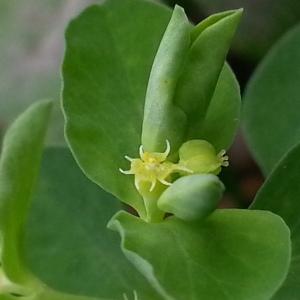 Photographie n°717186 du taxon Euphorbia peplus L. [1753]