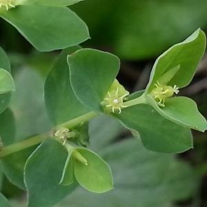 Photographie n°717190 du taxon Euphorbia peplus L. [1753]