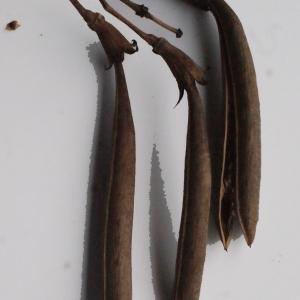 Photographie n°717285 du taxon Campsis radicans (L.) Bureau [1864]