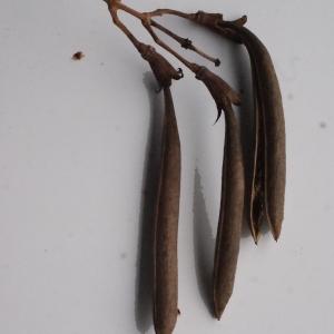 Photographie n°717286 du taxon Campsis radicans (L.) Bureau [1864]