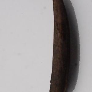 Photographie n°717288 du taxon Campsis radicans (L.) Bureau [1864]
