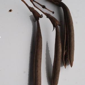 Photographie n°717335 du taxon Campsis radicans (L.) Bureau [1864]