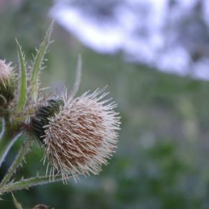 Cirsium carniolicum subsp. rufescens (Ramond ex DC.) P.Fourn. (Cirse roussâtre)