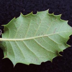 Photographie n°717897 du taxon Quercus x auzandri Gren. & Godr. [1856]