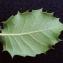 Liliane Roubaudi - Quercus x auzandri Gren. & Godr. [1856]